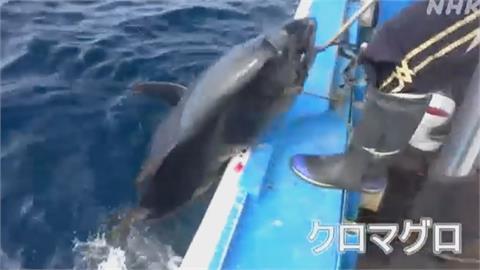 海洋復育有成! 北海道海域上千黑鮪魚現蹤