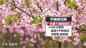 夢幻櫻花林盛開!昭和櫻、吉野櫻齊綻放超吸睛