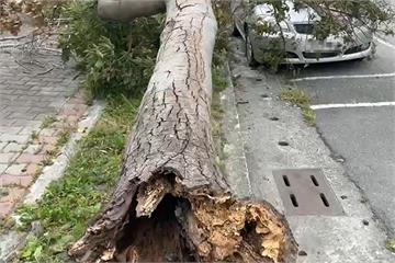 快新聞/台東午後刮強風樟樹整棵被吹斷 轎車擋風玻璃碎裂、車頭板金毀損