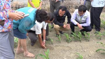 硬質玉米、青割玉米災損20% 農委會啟動補助