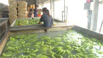 農糧署與日商簽訂單 年底前500公噸香蕉銷往日本