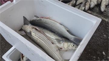 今年烏魚產量暴增「烏魚殼」沒人買價格崩盤