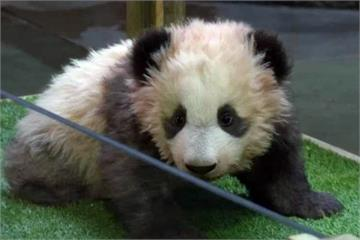 法國貓熊寶寶取名「圓夢」 第一夫人布莉姬也出席