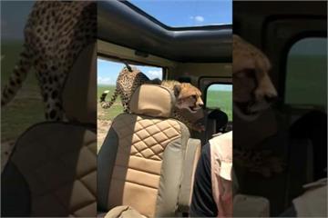 驚嚇! 遊非洲大草原 獵豹跳上車抱椅背