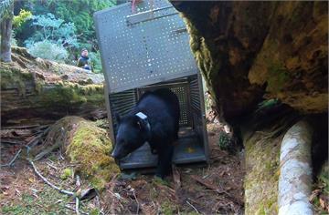 快新聞/錦屏母熊今野放 衛星追蹤項圈有助蒐集台灣黑熊生態