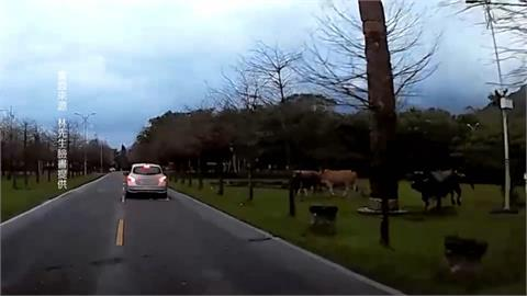 驚聞一聲宏亮牛鳴聲...  開車驚見大黑牛衝來 駕駛嚇壞急閃躲