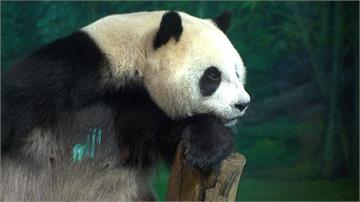 中國想送高雄貓熊 陳吉仲:石虎、台灣黑熊更需要關心