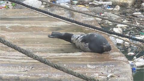 快新聞/新北鼻頭漁港小海豹游走了 圍捕安置計畫失敗