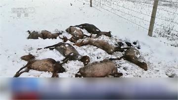 新疆降六月雪!逾400遊客受困 近500頭牛羊死亡