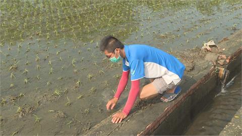 雨炸新港二期稻作全泡水 店家農民笑不出來