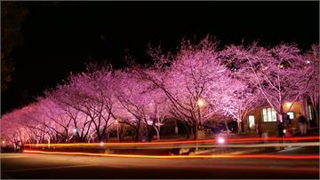 快新聞/粉紅大爆發! 武陵農場櫻花盛開 紅粉佳人、八重櫻接力綻放