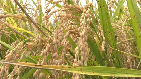 關山一期稻作質優熱銷!農會調漲部分稻穀收購價