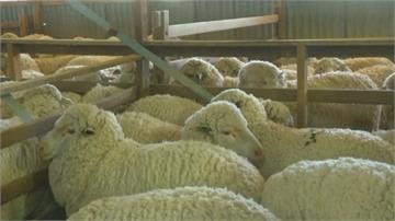 澳洲養羊業復甦!女性進軍手工剃毛師傅行列