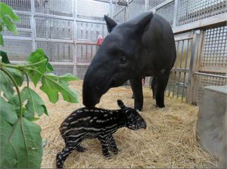 台北、布拉格聯姻傳喜訊 動物園喜迎馬來貘寶寶