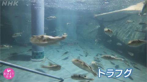 河豚肉成了拯救地方法寶! 北海道北見溫泉鄉成養殖基地