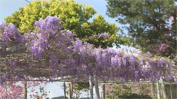 紫色風暴來襲!阿里山紫藤花大爆發 伴粉嫩櫻花「萬紫千紅」花期再兩週賞花要快