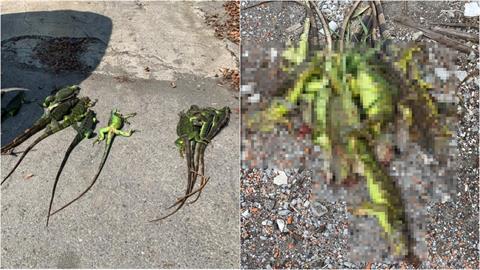 彰化綠鬣蜥為患!獵人出手「2週抓243隻」將進駐二林溪直到清零