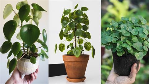 想買鏡面草卻拿到荷葉椒草?教你認清這些「常被搞錯」的觀葉植物
