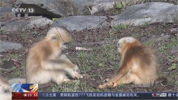 動物也能刷臉!秦嶺金絲猴識別率達95.6% 可望成動物保育新利器