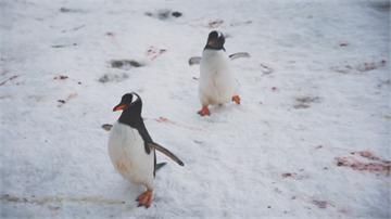 企鵝來自紐奧 為追逐魚群游到南極