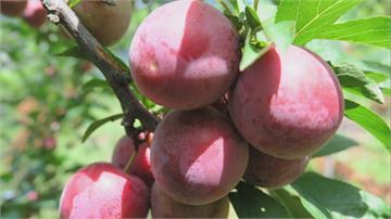 高級梨山「玫瑰李果乾」是詐騙!果農:現吃都不夠了
