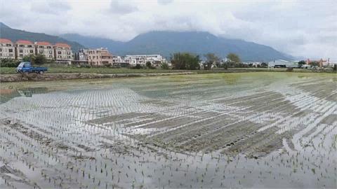 西部缺水影響灌溉 糧商到花東搶米?花蓮米將漲價?  農會:7月後確定