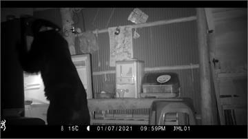 野放黑熊頻現蹤 自開冰箱挖食物