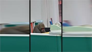這位教授長得不太一樣...獼猴坐辦公桌前引發熱議