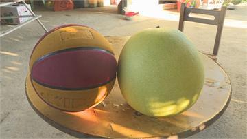 比籃球還大! 8台斤帝王柚尺寸超驚人