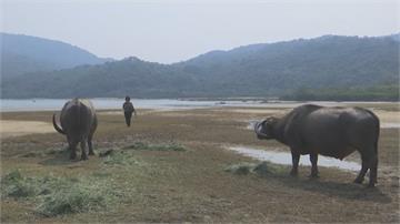 香港野生水牛棲息地  大嶼山恐遭開發破壞