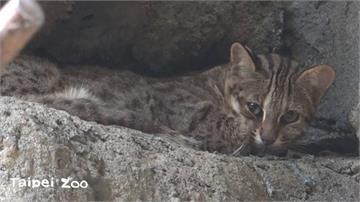 快新聞/17天迷航記! 北市動物園證實:石虎「飛飛」在水獺展場找到了