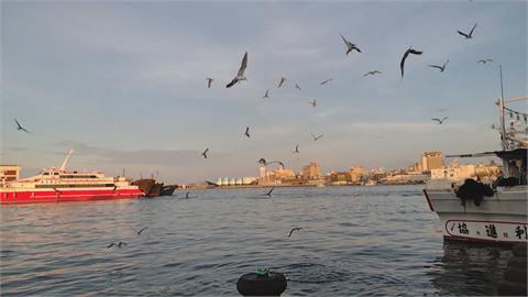 群聚覓食肆無忌憚! 馬公第三漁港 百隻燕鷗俯衝搶食