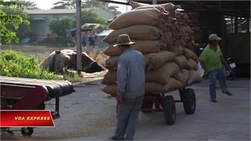 全球/留下來自己吃!泰國、越南限制農產出口恐爆糧荒?