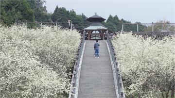 櫻花不只粉色系!阿里山白櫻花綻放如白雪超夢幻