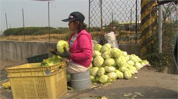 疫情傷菜價!高麗菜農開放民眾便宜採
