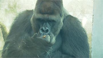 母胎單身猩猩「迪亞哥」脫魯 !擁2荷蘭母猩猩享齊人之福