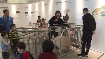 台灣豬重返國際市場!吳季衡養出台灣精品豬