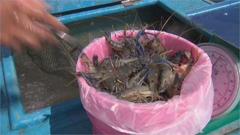 釣蝦場嘸人! 水產業乾脆收購三百斤活跳蝦 載到高雄賣光光