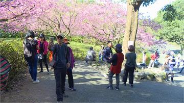 淡水天元宮湧上萬遊客來賞櫻  廟方憂群聚感染急喊「麥擱來」