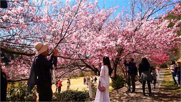 武陵農場櫻花開 管制最多6千人入園