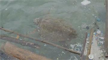 野柳百斤赤蠵龜體力不支困漂流木海巡、潛水教練合力搶救