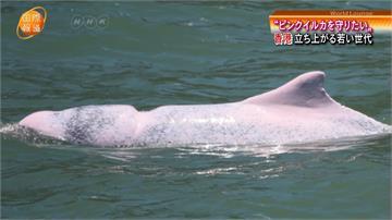 近年多遭觀光船撞死 香港白海豚列「易危」