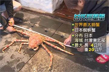 「比50吋電視大」七星潭捕獲巨無霸螃蟹