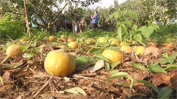 果農心酸!天氣異常乾旱 雲、苗柑橘大減產