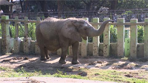 防疫在家看動物直播 大象阿里打頭陣! 壽山動物園休館整修 明年10月再見面