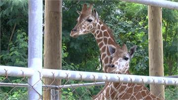 身價如南部別墅!南部動物園唯2長頸鹿見客