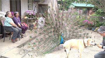 這個社區有隻藍孔雀?飛來定居此地成最夯吉祥物