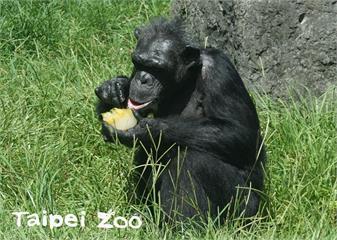 快新聞/北市動物園元老級黑猩猩「阿美」切除腫瘤手術中離世 享年51歲