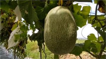 強降雨重創哈密瓜品質 壯圍農會辦活動助農民