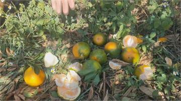 久旱不雨多曬傷!苗栗柑橘缺水賣相差 果農心淌血